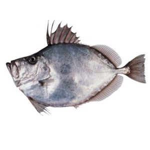 Peixe Galo Branco